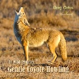 Gentle Coyote Howling in Wild Prairies